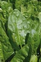 Клиппер F1, семена шпината (Sakata / Саката)