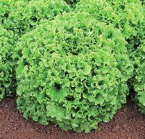 Наварон, семена салата батавия (Vilmorin / Вильморин)