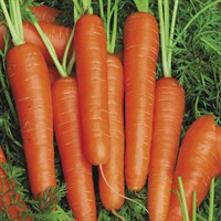 Спидо F1, семена моркови нантской (Vilmorin / Вильморин)