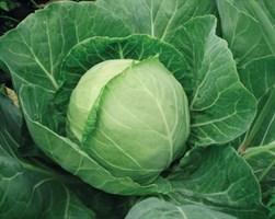Легат F1, семена капусты белокочанной (Clause / Клоз)