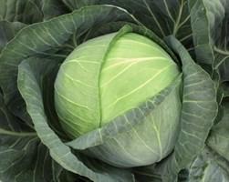 Бригадир F1, семена капусты белокочанной (Clause / Клоз)