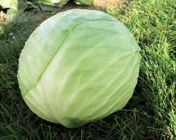 Декурион F1, семена капусты белокочанной (Clause / Клоз)