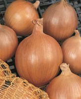 Бургос F1, семена лука репчатого (Vilmorin / Вильморин)