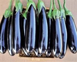 Фаворит F1, семена баклажана (Vilmorin / Вильморин)