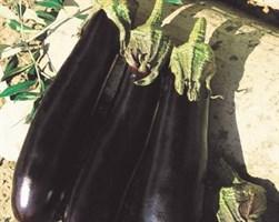 Фарама F1, семена баклажана (Tezier / Тезье)