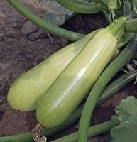 Адриелле F1, семена кабачка (Vilmorin / Вильморин)