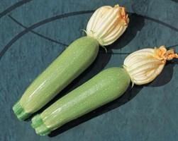 Алия F1, семена кабачка (Clause / Клоз)