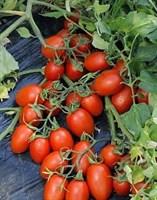 Феномена F1, семена томата детерминантного (Vilmorin / Вильморин)