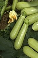 Джетта F1, семена кабачка (Vilmorin / Вильморин)
