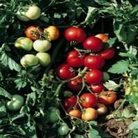 Топкапи F1, семена томата детерминантного (Vilmorin / Вильморин)
