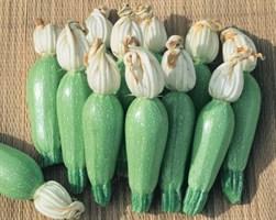 Лена F1, семена кабачка (Vilmorin / Вильморин)
