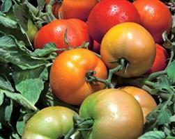 Трибека F1, семена томата детерминантного (Vilmorin / Вильморин)