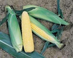 Турбо F1, семена кукурузы (Vilmorin / Вильморин)