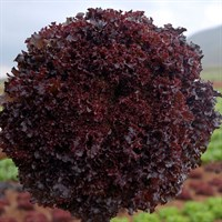 Бакус, семена салата листового (Vilmorin / Вильморин)