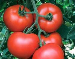 Алмейда F1, семена томата индетерминантного (Vilmorin / Вильморин)