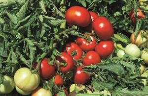 Импала F1, семена томата детерминантного (Vilmorin / Вильморин)