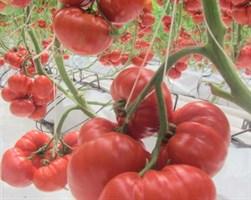 Сарра F1, семена томата индетерминантного (Clause / Клоз)