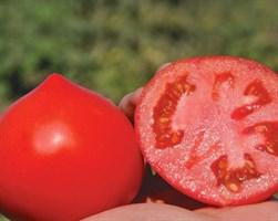 Примо Ред F1, семена томата детерминантного (Clause / Клоз)