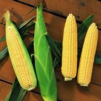 Сентинель F1, семена кукурузы (Clause / Клос)