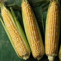 Камберлэнд F1, семена кукурузы (Clause / Клос)