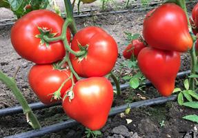 Эрон F1, семена томата индетерминантного (Enza Zaden / Энза Заден)