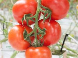 Дирк F1, семена томата индетерминантного (Enza Zaden / Энза Заден)