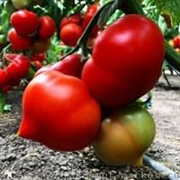 Вегго F1, семена томата полудетерминантного (Enza Zaden / Энза Заден)