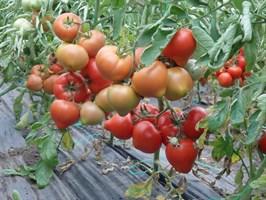 Саймон F1, семена томата полудетерминантного (Enza Zaden / Энза Заден)