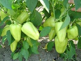 Лотта F1, семена перца сладкого (Enza Zaden / Энза Заден)