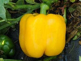 Милдред F1, семена перца сладкого (Enza Zaden / Энза Заден)