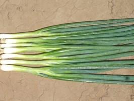 Банчинг Стар, семена лука на перо (Enza Zaden / Энза Заден)