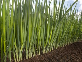 Фист, семена лука на перо (Takii Seeds / Таки Сидс)