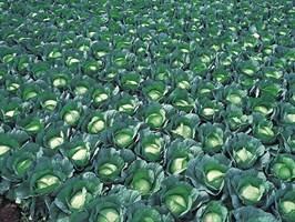 Грин Рич F1, семена капусты белокочанной (Takii Seeds / Таки Сидс)