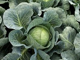 Вердеко F1, семена капусты белокочанной (Takii Seeds / Таки Сидс)