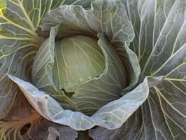 Грин Лунар F1, семена капусты белокочанной (Takii Seeds / Таки Сидс)