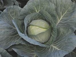 Чирс F1, семена капусты белокочанной (Takii Seeds / Таки Сидс)