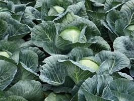 Структа F1, семена капусты белокочанной (Takii Seeds / Таки Сидс)