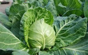 Ортус F1, семена капусты белокочанной (Takii Seeds / Таки Сидс)