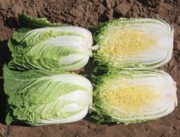 Грин Рокет F1, семена капусты пекинской (Takii Seeds / Таки Сидс)