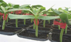 Консиста F1, семена подвоя (Takii Seeds / Таки Сидс)