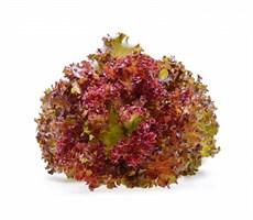 Диаблотин, семена салата батавия (Enza Zaden / Энза Заден)