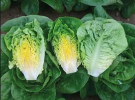 Алмадраба, семена салата ромэн (Enza Zaden / Энза Заден)
