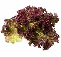Тамариндо, семена салата батавия (Enza Zaden / Энза Заден)