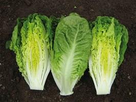 Ксанаду, семена салата ромэн (Enza Zaden / Энза Заден)
