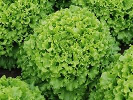 Кайпира, семена салата батавия (Enza Zaden / Энза Заден)