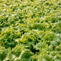 Афицион РЗ, семена салата батавия (Rijk Zwaan / Райк Цваан)
