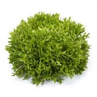 Экзам Knox ™, семена салата саланова (Rijk Zwaan / Райк Цваан)