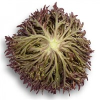Триплекс, семена салата хрустящего с сильно рассеченным листом (Rijk Zwaan / Райк Цваан)
