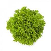 Экспириенс, семена салата хрустящего с сильно рассеченным листом (Rijk Zwaan / Райк Цваан)