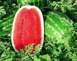 Мелания F1, семена арбуза (Seminis / Семинис)